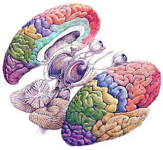 20101006131038-cerebro1-1-.jpg