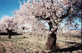 20090928134736-web-almendros-en-flor-2-44-.jpg