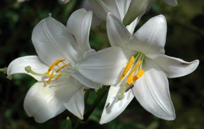 XVI EXPOSICIO DE CACTUS I ALTRES SUCULENTES 2011 20091015133651-9860700azucenas-blancas-2-bellas