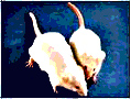 20100313160852-ratones.jpg