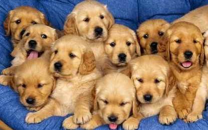 Cachorros.