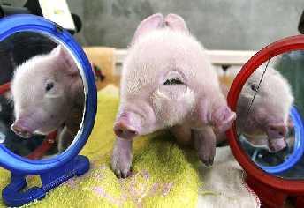 20070327154506-cerdo-con-dos-cabezas.jpg
