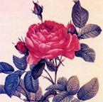 20070522182953-rosa.jpg